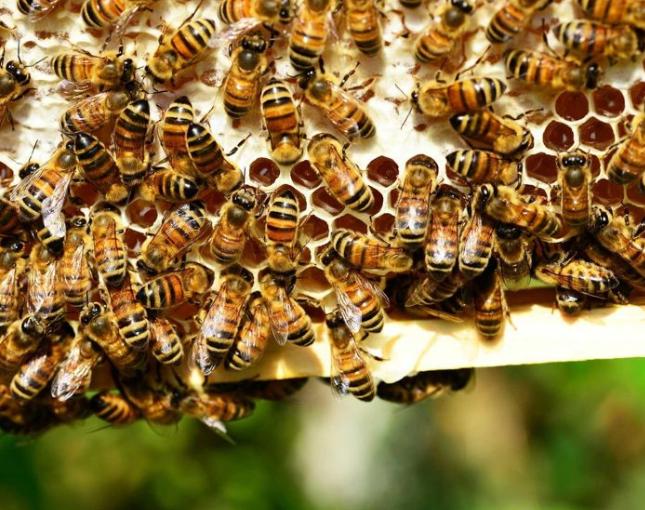 Мед, пчела и пасека. Обзор гнезда пчелиной семьи: гигиенические требования  — Пай.УКР - Информационный портал