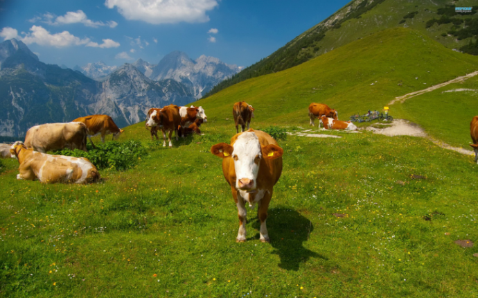 Швейцарские коровы на лугу