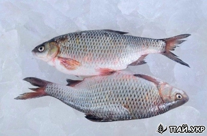 Риба оптом. Річкова риба. — Пай.УКР - Информационный портал