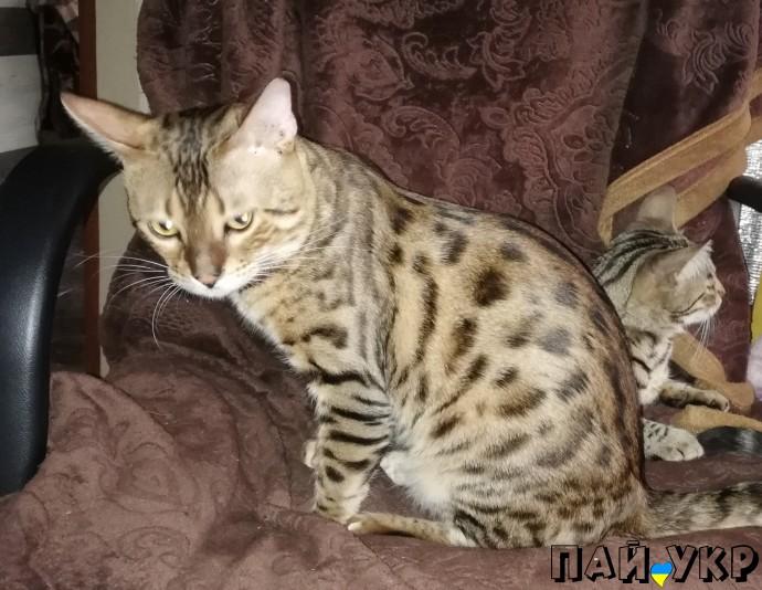 как британские бенгальские коты фото изготовления коптильни скороварки